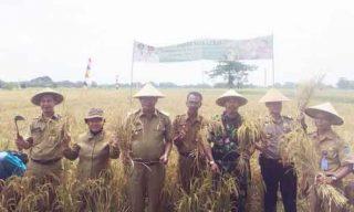 Wakil Bupati Nurul Aman melakukan panen raya padi di Kecamatan Muara Belida Senin, (5/9/2016)