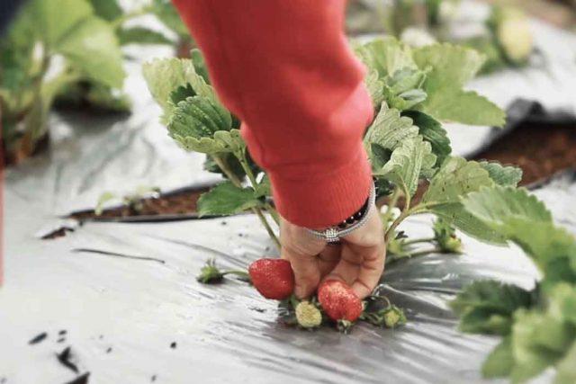 Selain membudidayakan tanaman sayuran, petani di kawasan ini juga menanam buah strawbery.