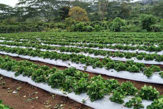 Hamparan tanaman Stroberi di Desa Segamit, Semende Darat Ulu.