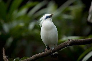 Jalak Bali merupakan salah satu burung langka koleksi Taman Burung Bali (Foto: Istimewa)