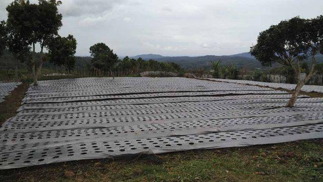 Lahan untuk tanaman bawang merah yang sudah ditutupi mulsa untuk menghindari gulma di Desa Tenang Bungkuk, Kecamatan Semende Darat Tengah.