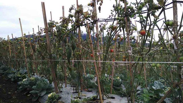 Tanaman tomat yang diselingi dengan kembang kol di Desa Tenang Bungkuk, Semende Darat Tengah
