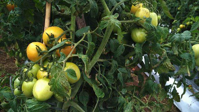 Buah tomat siap untuk di panen di Desa Gunung Agung, Kecamatan Semende Darat Laut.